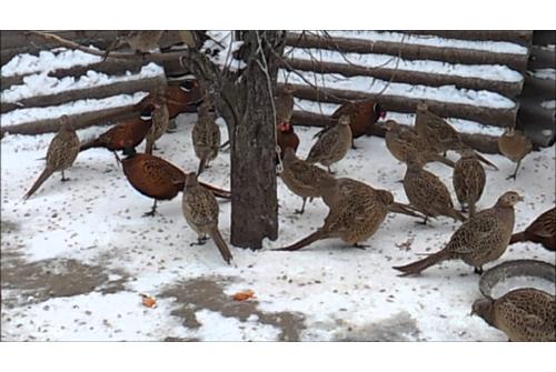 Как сделать ловушку для фазанов в домашних условиях
